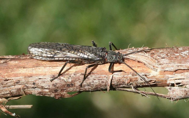 Stonefly-Dry-Salmonfly